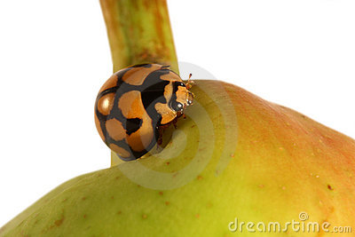 Ladybird sitting on pear