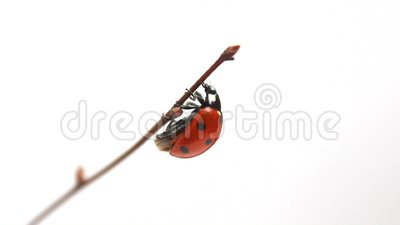 Ladybird spreads its wings. Ladybug spreading its wings on the twigs
