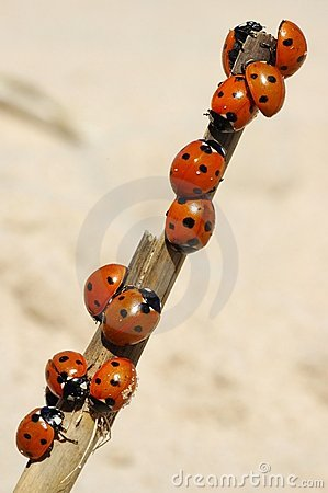 Free Ladybirds Stock Images - 602624