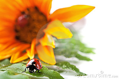 Ladybirds on green leaf and yellow flower