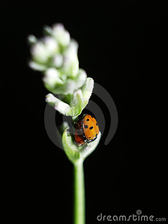 Free Ladybirds Having Sex Stock Image - 5551491