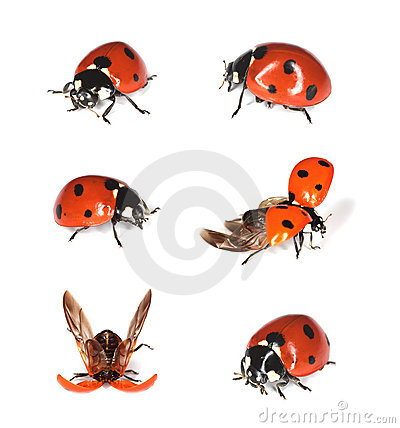 Free Ladybirds Isolated On White. Royalty Free Stock Photo - 10232975