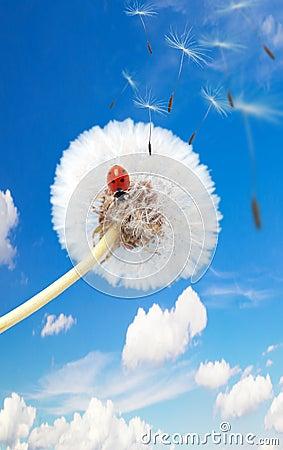 Ladybug σε μια πικραλίδα