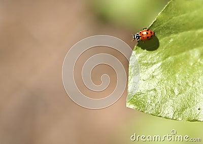 Ladybug στο φύλλο