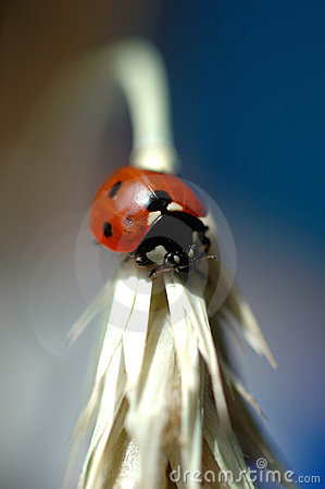Free Ladybug Royalty Free Stock Photography - 10007