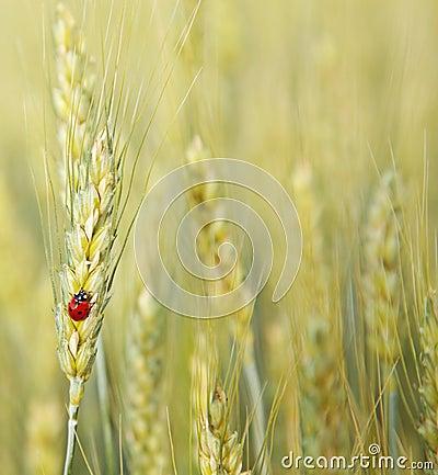 ladybug .