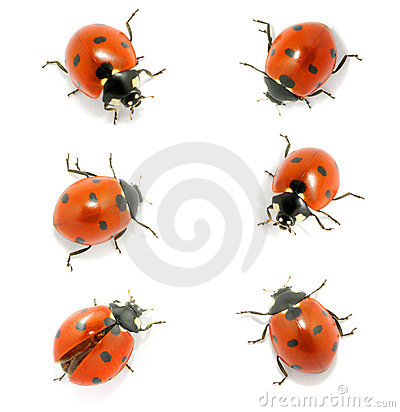 Free Ladybug Stock Image - 18636571