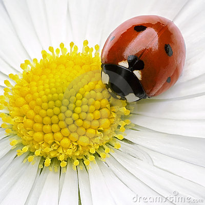 Free Ladybug Stock Photography - 2125252