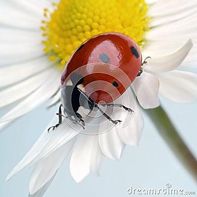 Free Ladybug Stock Image - 2125341