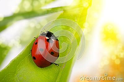 макрос ladybug