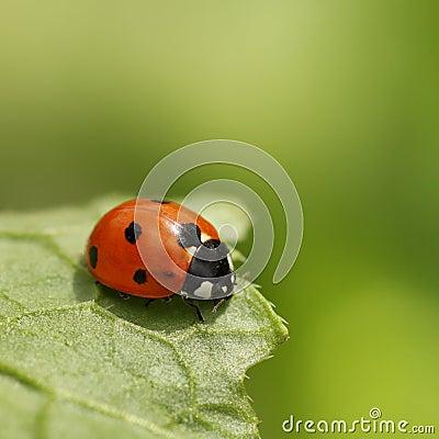 Free Ladybug Stock Images - 8863484