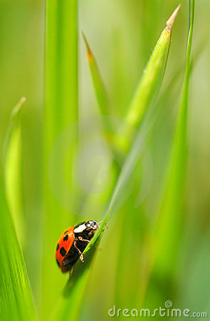 Free Ladybug Adventure Royalty Free Stock Images - 5364269