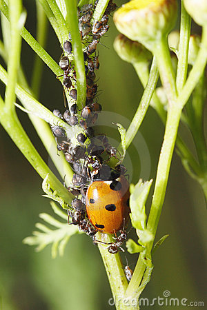 Free Ladybug, Ants And Aphids Royalty Free Stock Photos - 6054238