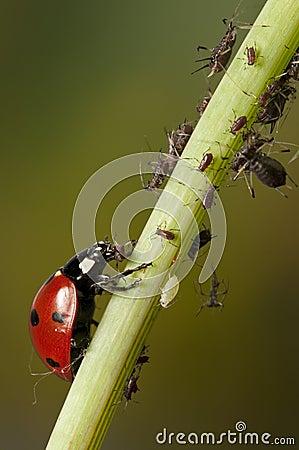 Ladybug and aphids