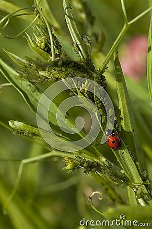 Ladybug and aphis