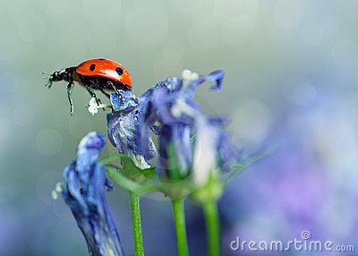 Ladybug and Bellflowers