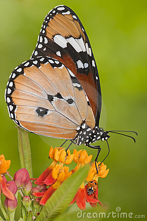 Ladybug and butterfly macro
