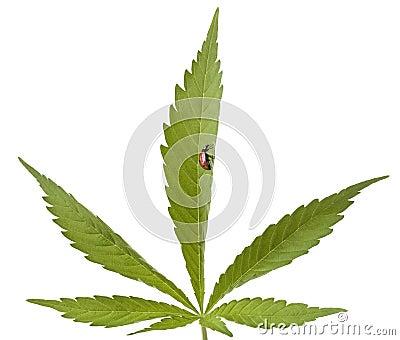 Ladybug on cannabis leaf