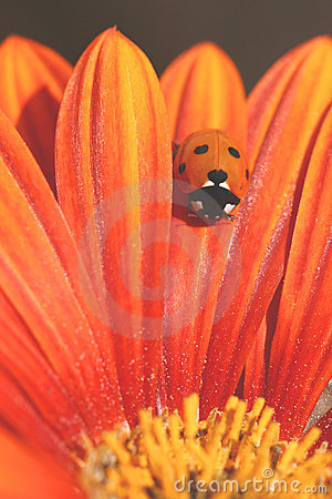 Ladybug Crawls on Orange Petal