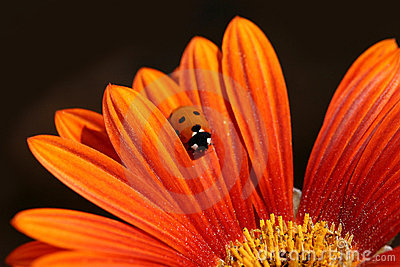 Ladybug Crawls On Orange Petal