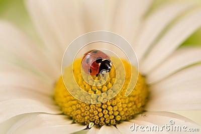 Ladybug on a daisy flower