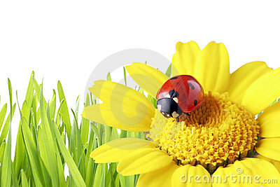 Ladybug in a daisy with grass as background