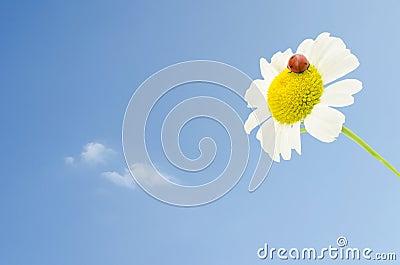 Ladybug on daisy over blue sky