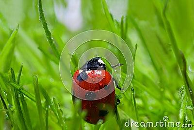 Ladybug with dew