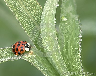 Ladybug In Dew