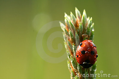 Ladybug with drops of dew