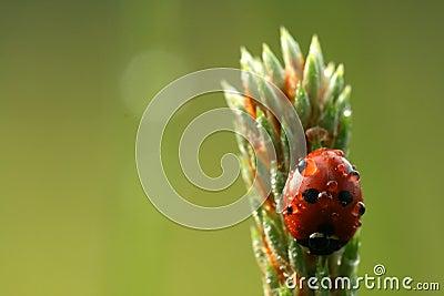 Ladybug with drops of dew