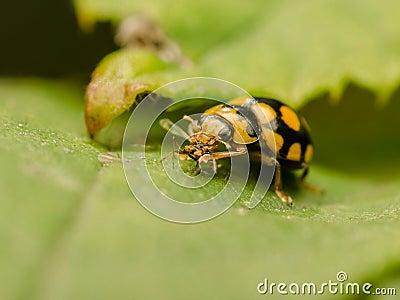 Ladybug Eating