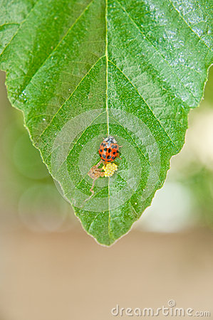 Ladybug and eggs
