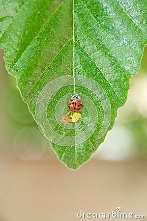 Ladybug and eggs