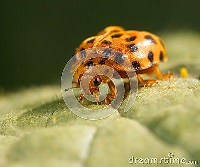 Ladybug feedin