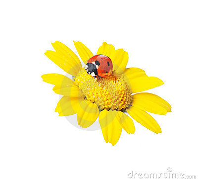 Ladybug in a flower-clippingpath