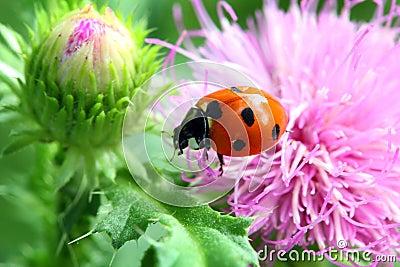 Ladybug on flower macro