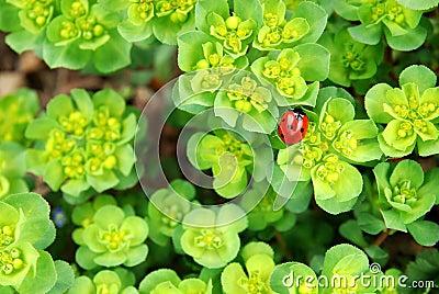Ladybug on fresh foliage