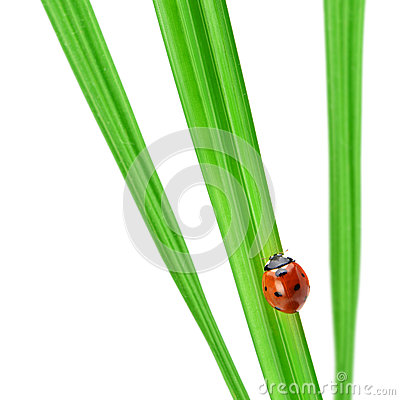 Ladybug on a green blade of grass