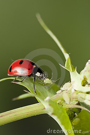Free Ladybug Hunting For Aphids Stock Photography - 13504602