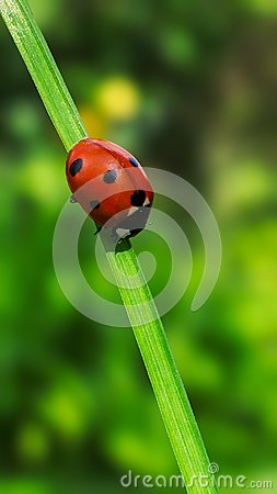 Free Ladybug In Balance Royalty Free Stock Photo - 103334305