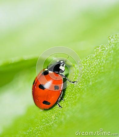 Ladybug on a leaf.