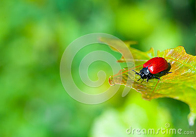 Ladybug on the leaf