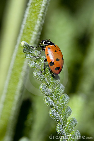 Ladybug on long leaf