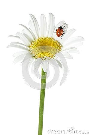 Free Ladybug On Daisy Royalty Free Stock Photos - 5403208