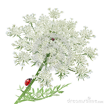 Free Ladybug On Queen Anne S Lace Royalty Free Stock Images - 53996399