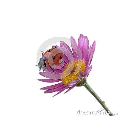 Ladybug on pink flower