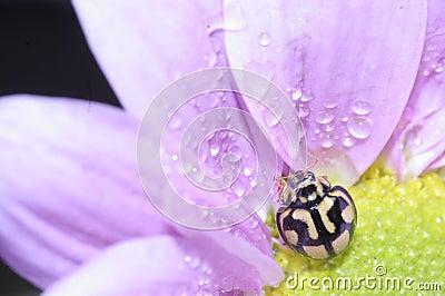 Ladybug and pink flower