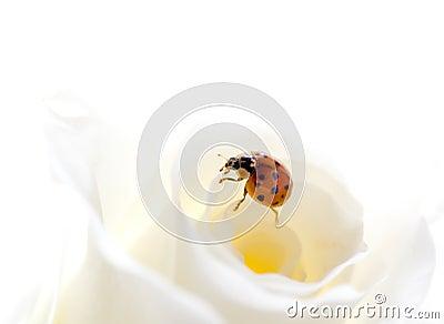 Ladybug  on rose