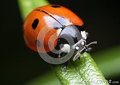 Ladybug on rosemary
